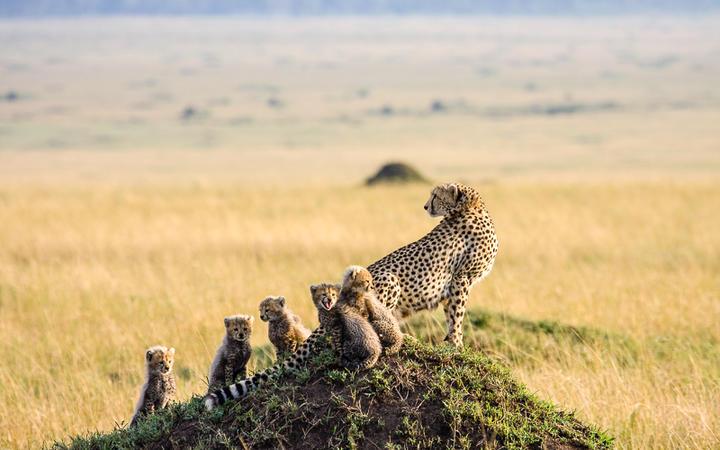 Geparden Familie im Masai Mara Nationalpark, Nairobi, Kenia © Gail Johnson / Shutterstock.com
