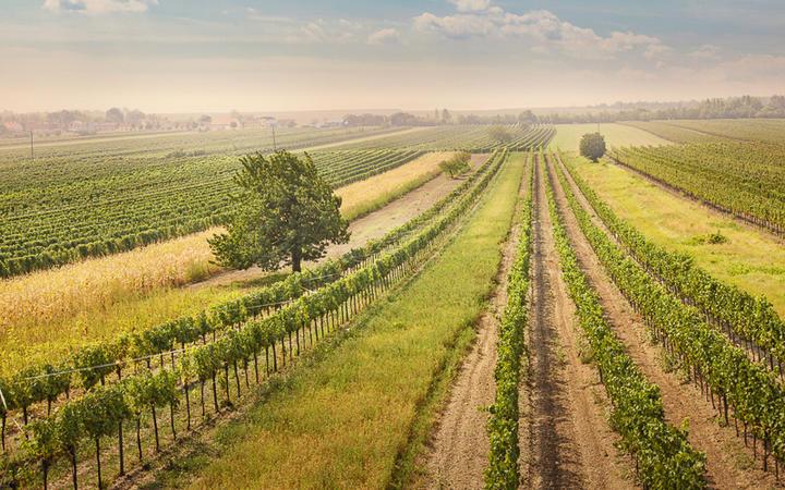 Weinreben im Burgenland © Elena Schweitzer / shutterstock.com